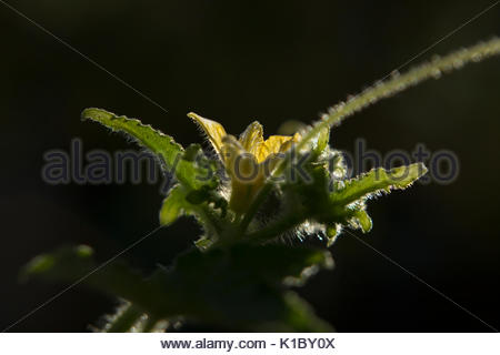Cucumber with flower - Stock Photo