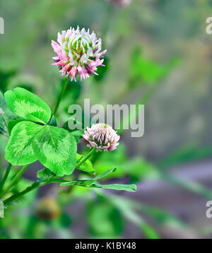 Flowers and leaves of pink clover (Trifolium). Honey and medicinal plant. - Stock Photo