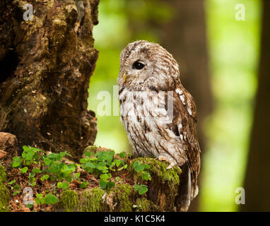 Portrait of young brown owl in forest - Strix aluco - Stock Photo