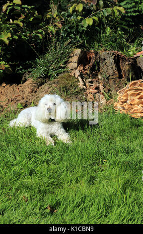 White poodle in garden in South Otterington, Northallerton, North Yorkshire, England - Stock Photo