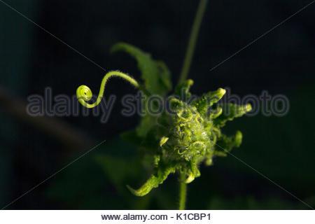 Cucumber with flower in organic vegtable garden - Stock Photo