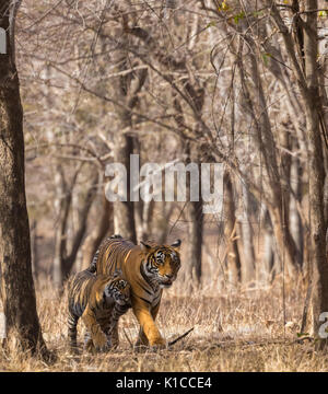 Tiger cub cuddling mother tigress in a beautiful vertical frame formed by dry treeline - Stock Photo