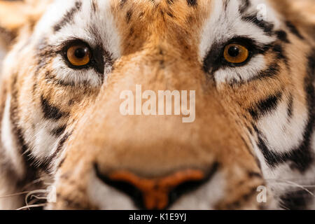 Rudolstadt, Germany. 16th Aug, 2017. A male Amur Tiger, a loan from the Leipzig Natural Museum, appears to look - Stock Photo