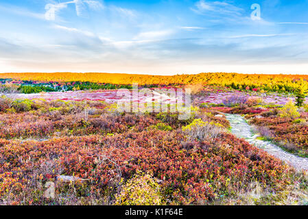Icy frost on red blueberry huckleberry bush trail path illuminated by morning sunlight at Dolly Sods, West Virginia - Stock Photo