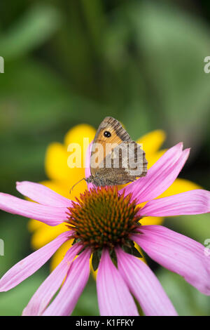 Maniola jurtina. Meadow brown butterfly on echinacea flower in an english garden. UK - Stock Photo