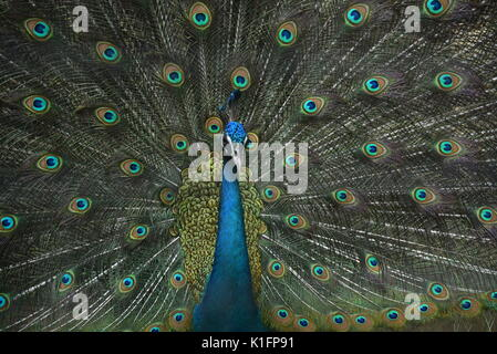 Peacock bird dancing in rain - Stock Photo