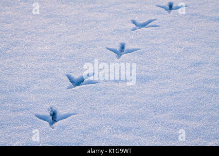 Line of footprints in snow left by heron bird. - Stock Photo