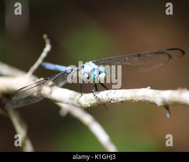 Great Blue skimmer dragonfly on a branch has beautiful blue eyes with a white face - Stock Photo