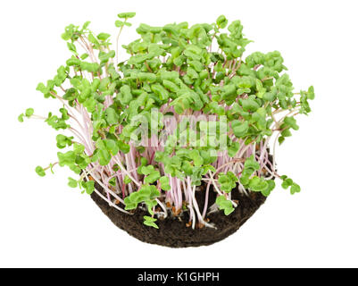 China Rose radish seedlings in potting compost from above. Sprouts, vegetable, microgreen. Chinese winter radish - Stock Photo