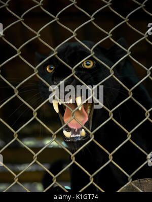 An angry Black Jaguar snarling inside an enclosure - Stock Photo