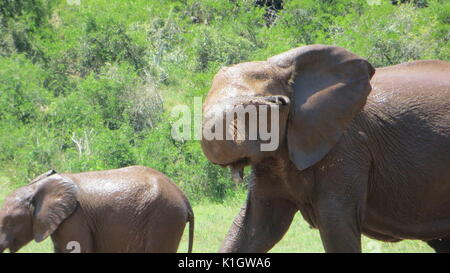 Elephants after having a bath, South Africa - Stock Photo