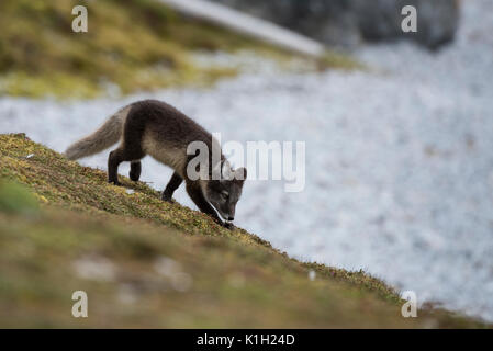 Norway, Svalbard, Spitsbergen, Hornsund, Gnalodden. Arctic fox kit (WILD: Vulpes lagapus) with summer coat. - Stock Photo