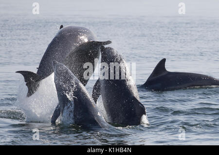 Bottlenose dolphins perform a spectacular triple breach in the Moray Firth - Stock Photo