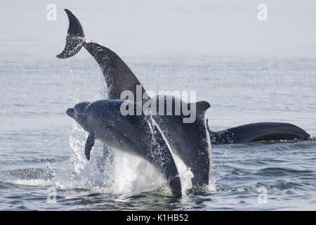 Bottlenose dolphins perfoerm a spectacular triple breach in the Moray Firth - Stock Photo