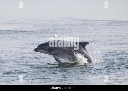 Bottlenose dolphin breaching in the Moray Firth - Stock Photo