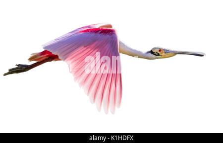 Roseate spoonbill (Platalea ajaja) flying, isolated on white background. - Stock Photo