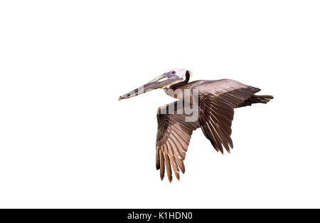 The  brown pelican (Pelecanus occidentalis) flying, isolated on white background. - Stock Photo