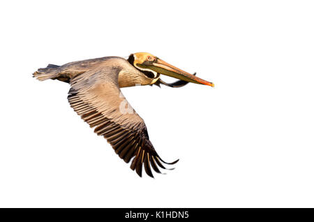 Brown pelican (Pelecanus occidentalis) flying, isolated on white background. - Stock Photo