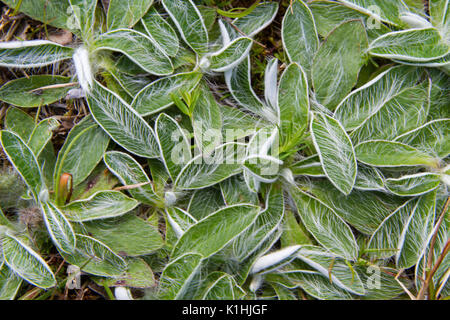 The hairy leaves of Mouse-ear hawkweed - Stock Photo