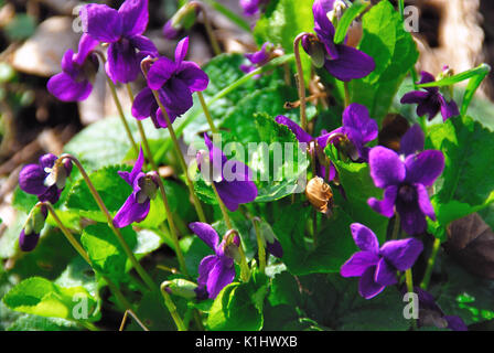 Wood violets in a meadow - Stock Photo
