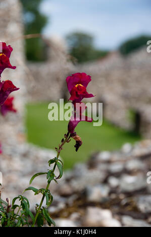 A wild, red flower growing from the flint wall at Binham Priory in North Norfolk, UK - Stock Photo