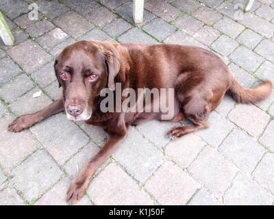 Chocolate Labrador Dog lying down outside. - Stock Photo