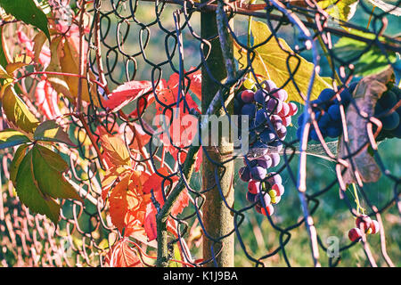 Organic grapes on an old vineyard's wire mesh fence in autumn