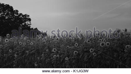 Sunflower field in black and white - Stock Photo
