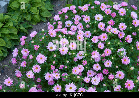 Small pink asters in mix border in summer garden - Stock Photo