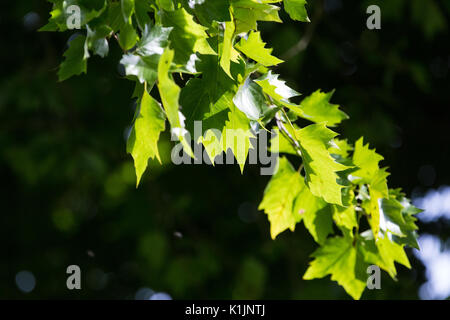 Windsor, UK. 25th August, 2017. Sunshine on the leaves of a London plane tree in Windsor Great Park. - Stock Photo