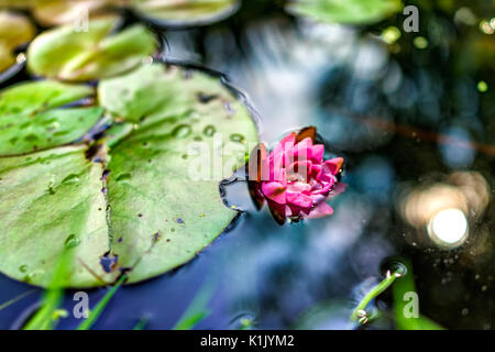 Blooming pink red open lily flower with pads in pond drowning - Stock Photo