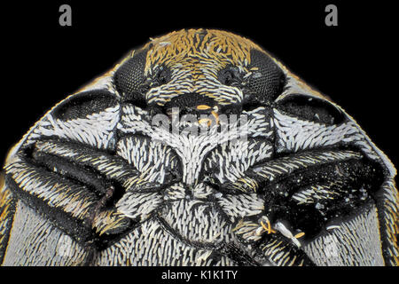 Reflected light micrograph of varied carpet beetle (Anthrenus verbasci), pictured area is about 1.5mm wide - Stock Photo
