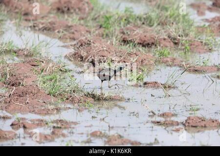 Bronze-winged Jacana (Metopidius indicus) in Khao Yai National Park, Thailand - Stock Photo
