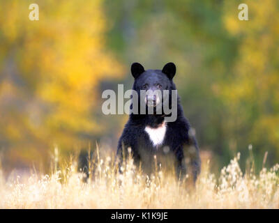 Black Bear standing upright in meadow, watching alert. Stock Photo