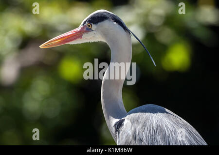 Grey heron (Ardea cinerea), Baden-Württemberg, Germany - Stock Photo
