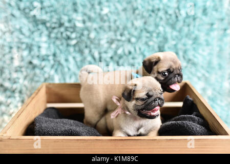 Two happy pug puppies sitting in a box. Pugs have tongues out. Brother with sister. - Stock Photo