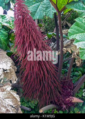 Amaranthus Caudatus flowers, known as Love Lies Bleeding. - Stock Photo