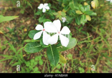 madagascar periwinkle,vinca or old maid flower (catharanthus roseus) - Stock Photo