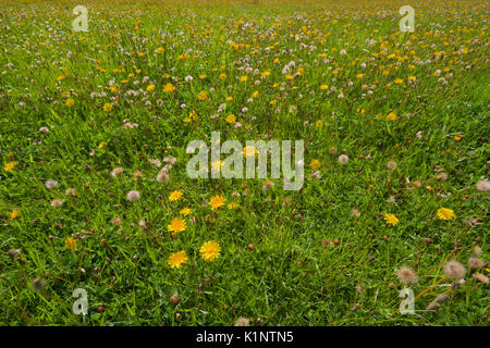 Meadow with lots of Dandelions, both flowers and blowballs - Stock Photo