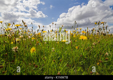 View from the ground in a meadow with lots of Dandelions under a blue sky with white clouds - Stock Photo