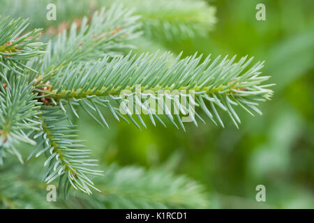 Xmas tree branch. Natural green spruce.  - Stock Photo