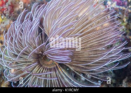 feather duster worms, Branchiomma cingulatum (Grube, 1870).  Depth 7m - Stock Photo