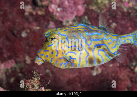 Colorful boxfish swimming around coral reef. Depth 10m - Stock Photo