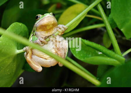 Nice green amphibian European tree frog, Hyla arborea, sitting on grass habitat. - Stock Photo