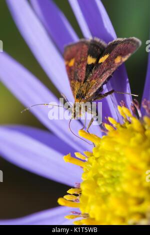 Mint Moth (Pyrausta aurata) on purple Aster - Stock Photo