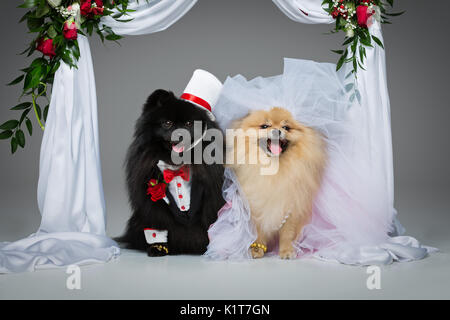 Beautiful spitz wedding couple kissing under flower arch over grey background. dog bride in skirt and veil. groom - Stock Photo