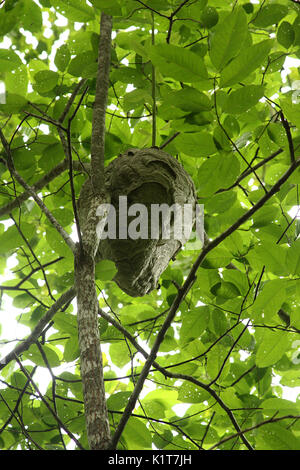 Large wasp nest Stock Photo: 52814951 - Alamy