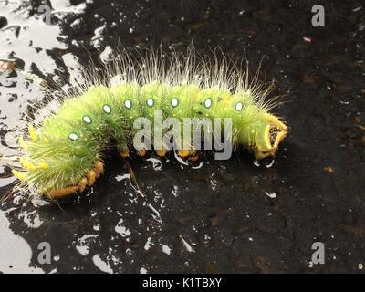 Larva Imperial Pine moth / Eacles imperialis giant