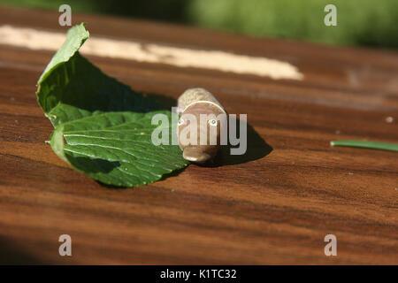 Caterpillar of Eastern Tiger Swallowtail - Stock Photo