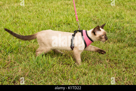 Side view of a cute Siamese kitten wearing a harness, walking in grass on leash - Stock Photo
